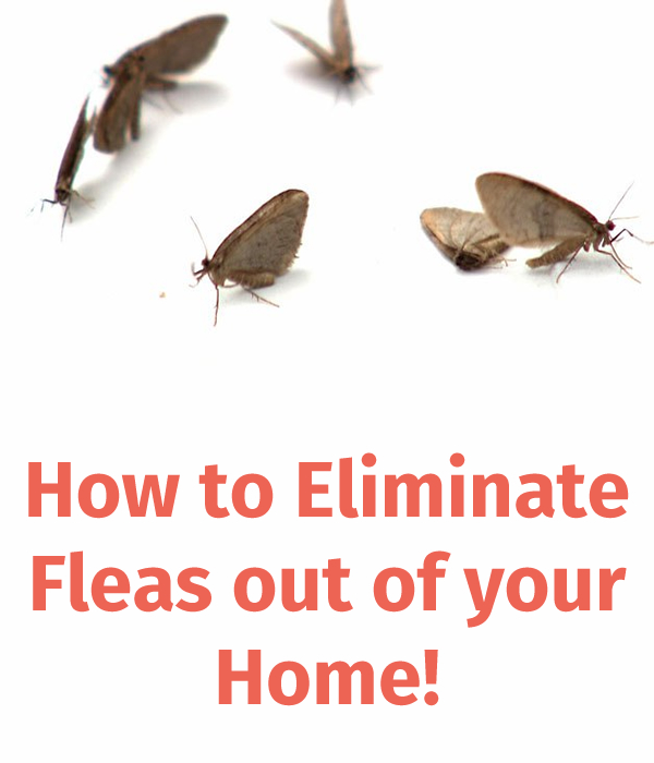 How to Eliminate Fleas out of your Home!